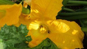 Bienen in Zucchiniblüte
