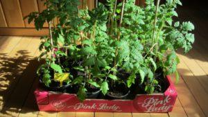 Eine Kiste mit Tomaten Ruthje