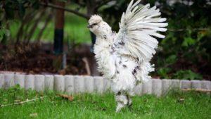 Weißes Huhn