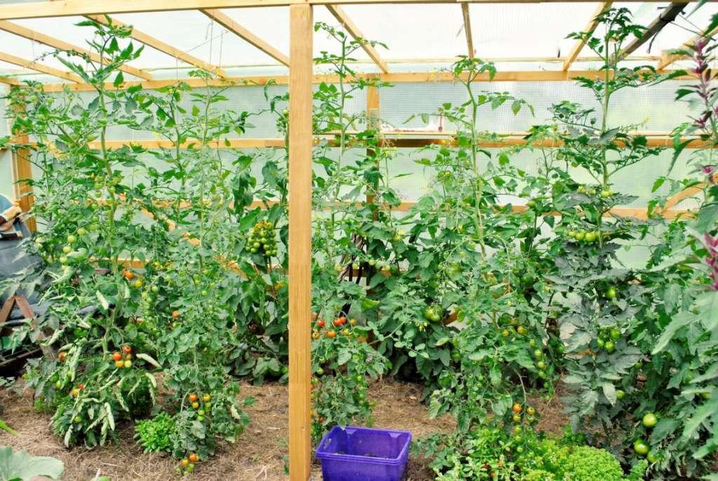 Gemeinsame Tomatenanbau   Biogarten Füllhorn @HO_27