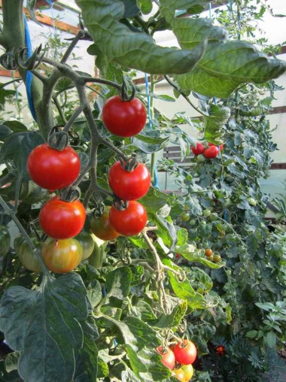Rote Tomaten selbst vermehrt