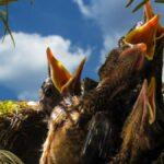 Vögel füttern – auch im naturnahen Biogarten und auch im Sommer?