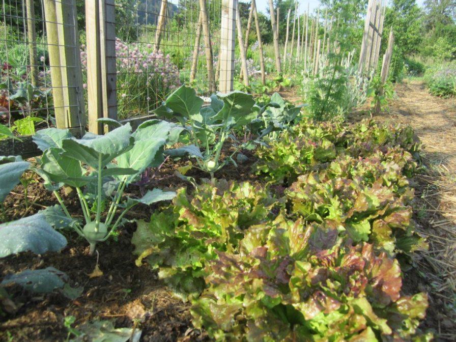 Bataviasalat und Kohlrabi im Garten