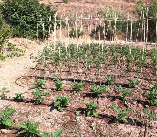 Auberginen und Tomaten im Gemüsebeet