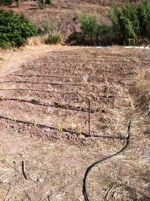 Auberginenfeld in Spanien frisch gesetzt