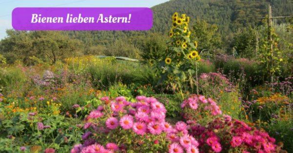 Bienen lieben Astern (1)