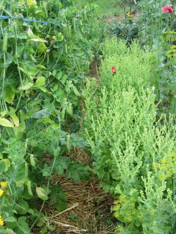 auf der rechten Seite eine Reihe geschossener Salat für die Saatgutgewinnung