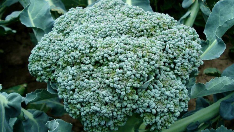 Brokkoli Rosette kurz vor der Ernte