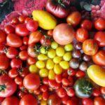 Bunte Tomatenvielfalt von Christine Zimmermann