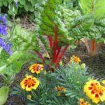 Bunter Mangold mit Tagetes und einjährigem Rittersporn ist eine Zierde des Gemüsebeetes