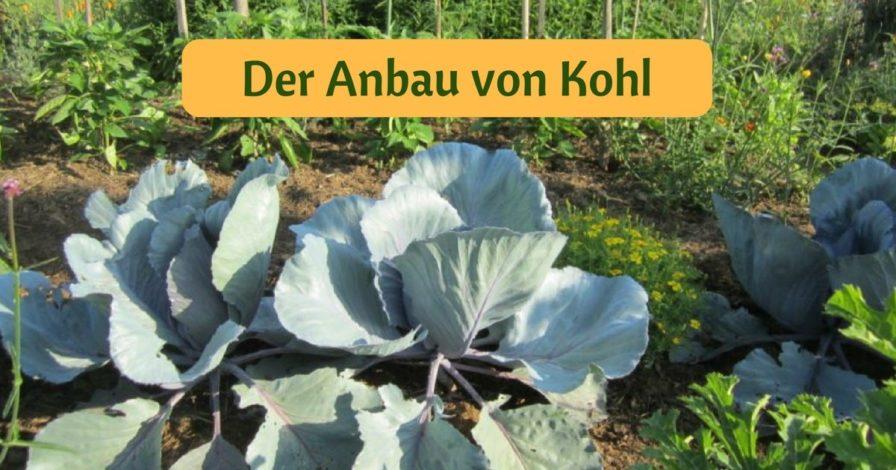 Der Anbau von Kohl (3)