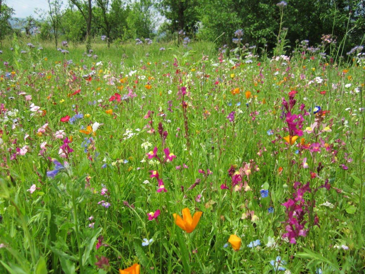 Eine Einjährige Blumenwiese Entsteht Biogarten Füllhorn