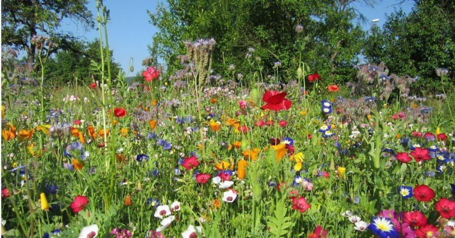 Einjährige Blumenwiese im Biogarten