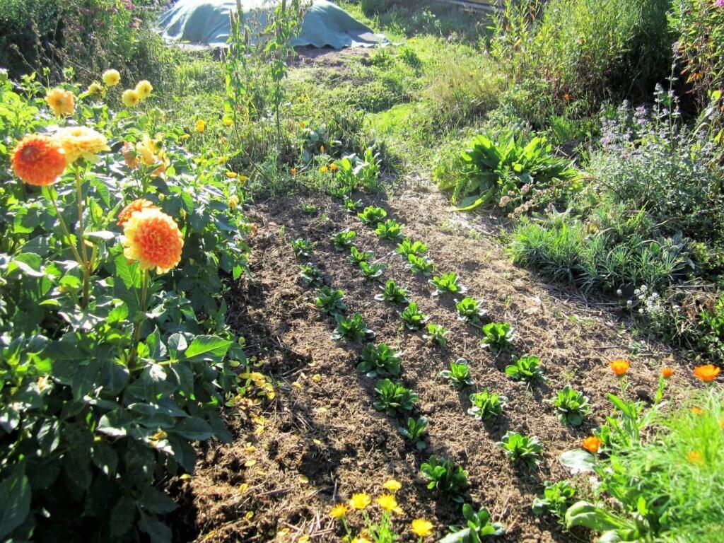 Der Anbau von Feldsalat gelingt auch in Vorkultur sehr gut