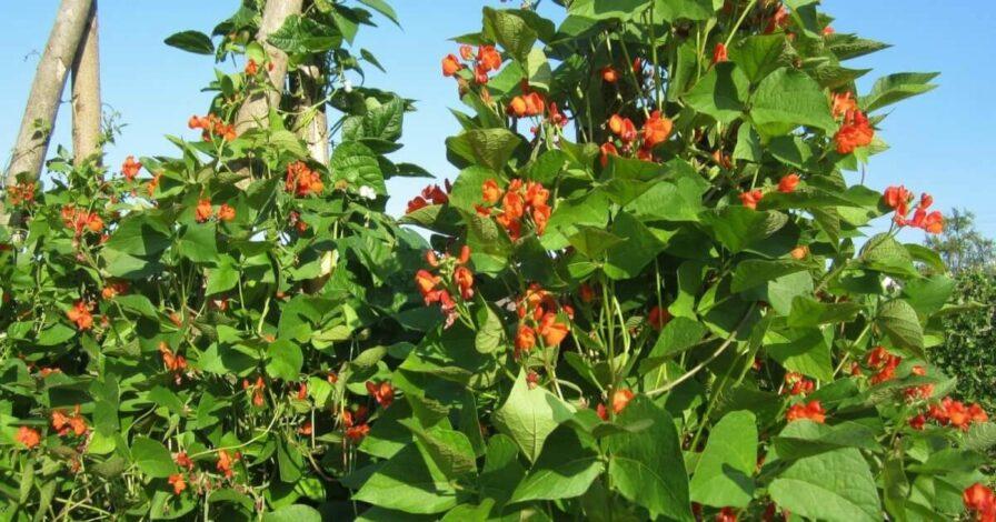 Der Anbau von Bohnen