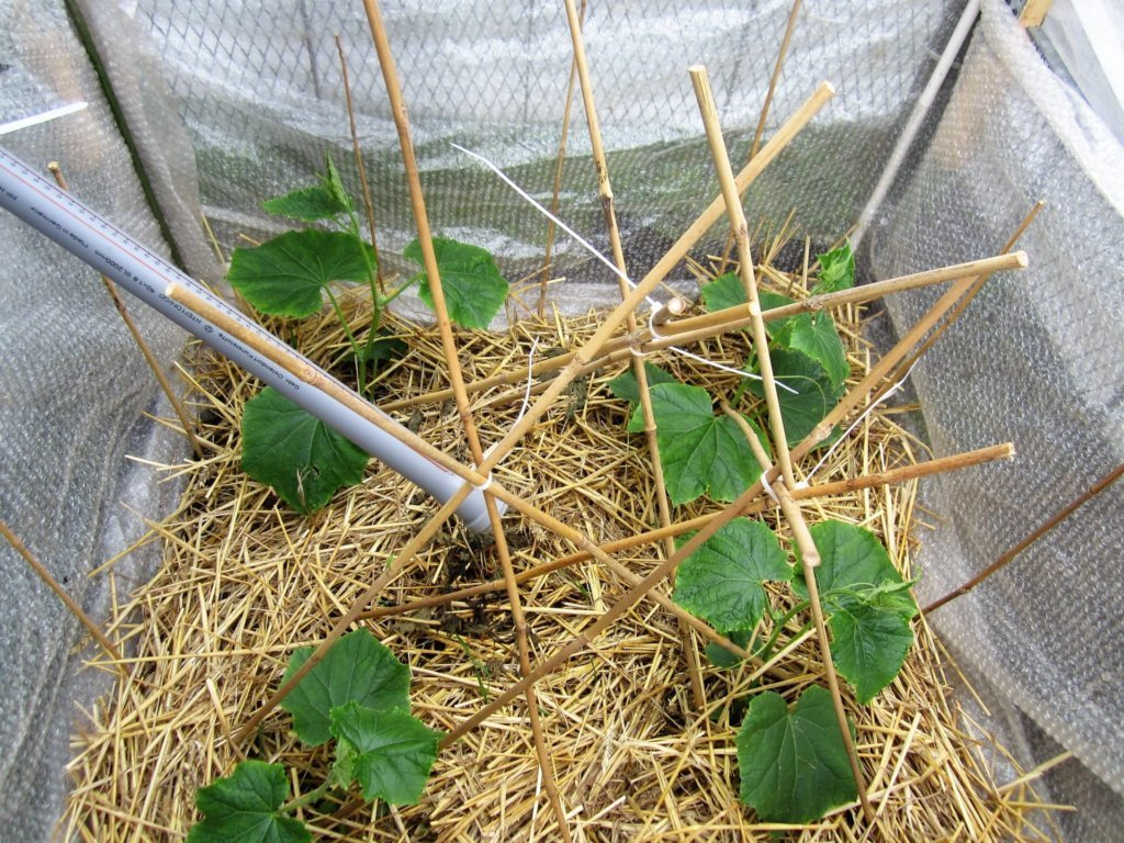 Diese Gurken stehen im warmen Folienkasten, automatisch bewässert aus der Regenrinne