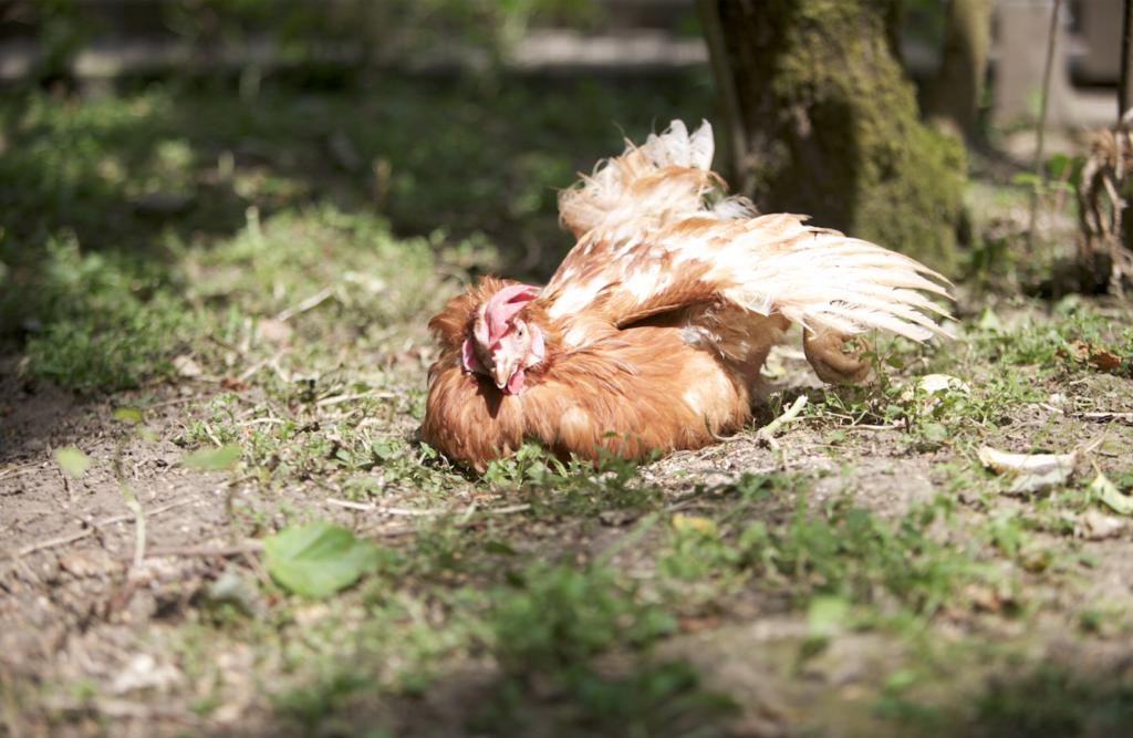 Glückliches Huhn vom Gartengemüsekiosk