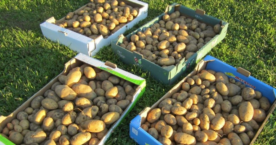 Kartoffelanbau im Biogarten (1)