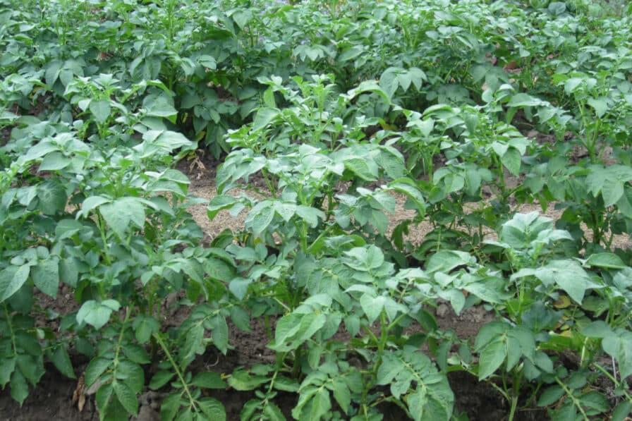 Angehäufelte Kartoffeln im Juni