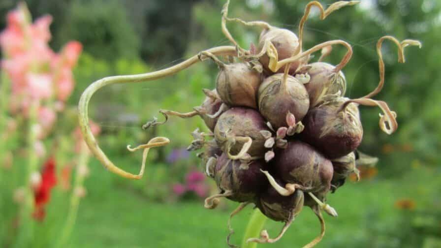 Knoblauch Bulbille