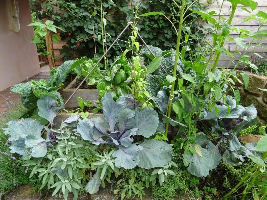 Kohlpflanzen im Terrassenbeet