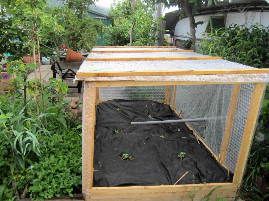Melonen gut geschützt in der rauen Eifel mit automatischer Bewässerung