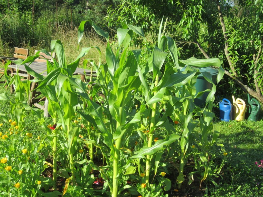 Mini-Maisfeld auf 2 Quadratmetern