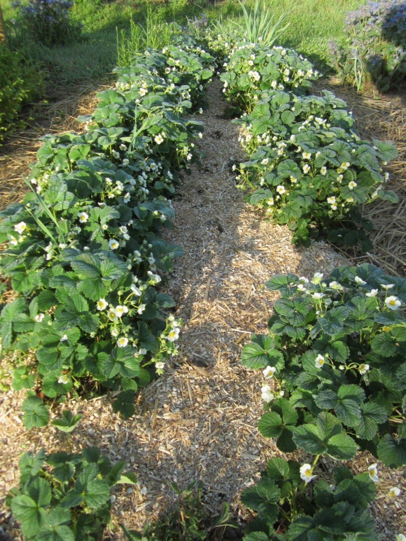 Der Anbau von Erdbeeren gelingt gut mit Miscanthusmulch an Erdbeeren