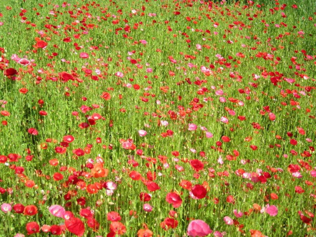 Mohnwiese im Biogarten Füllhorn 0