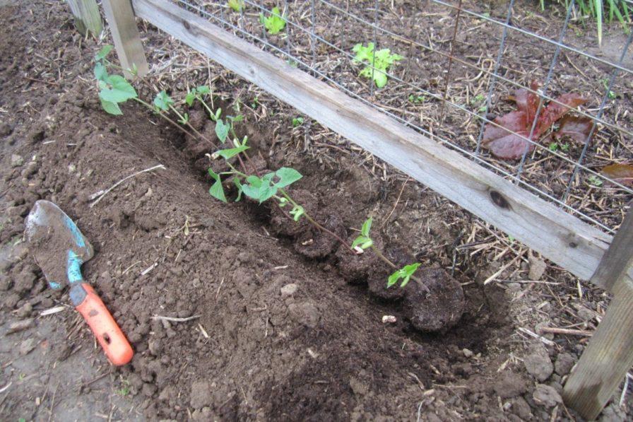 Vorgezogene Bohnen werden gepflanzt