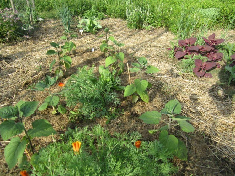 Physalis im Garten