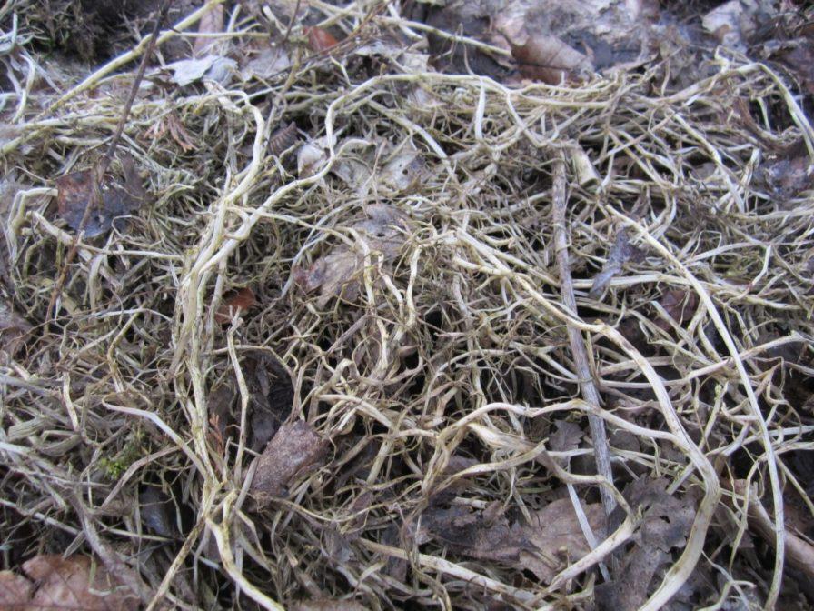 abgefrorene Kapuzinerkresse im Frühjahr