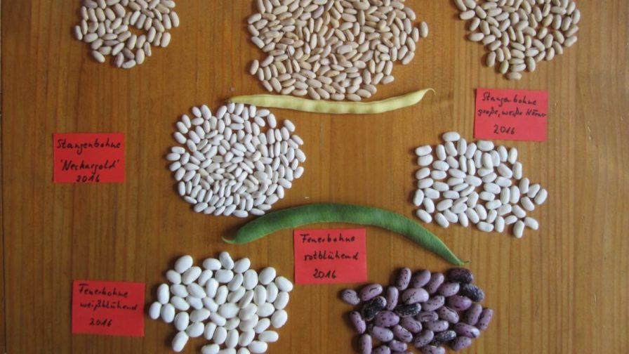 Saatgut von Bohnen