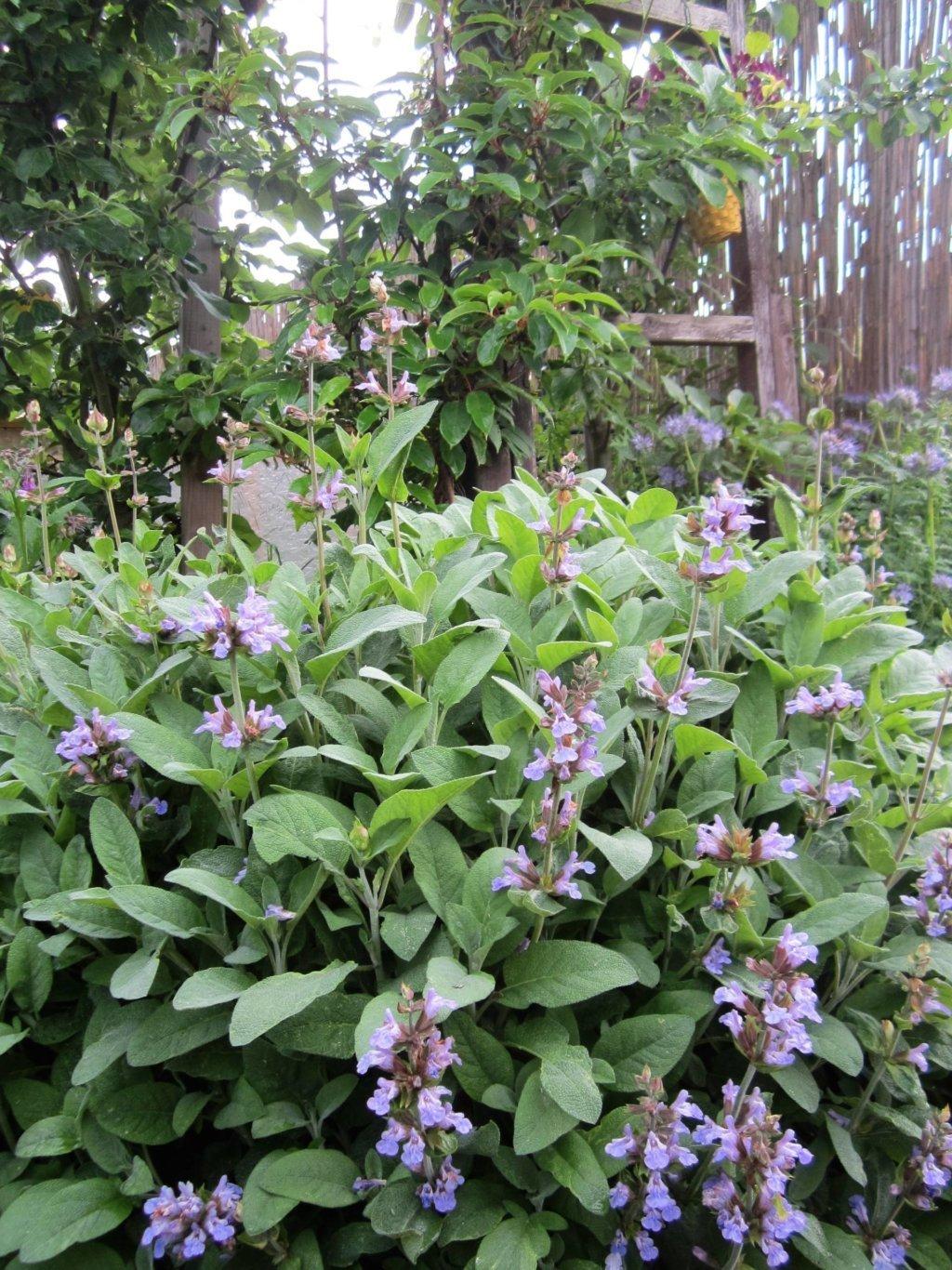 Spanischer Salbei in Blüte, erinnert von den Blüten an Gundermann