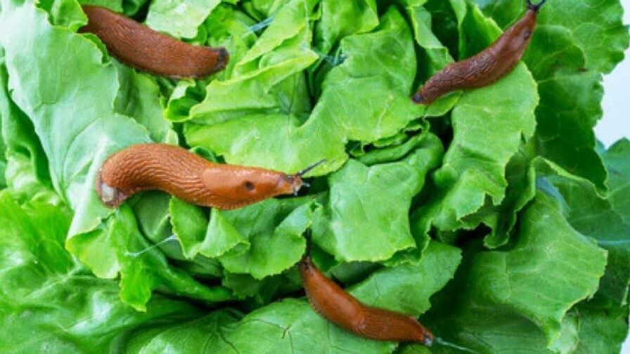 Schnecken am Salat