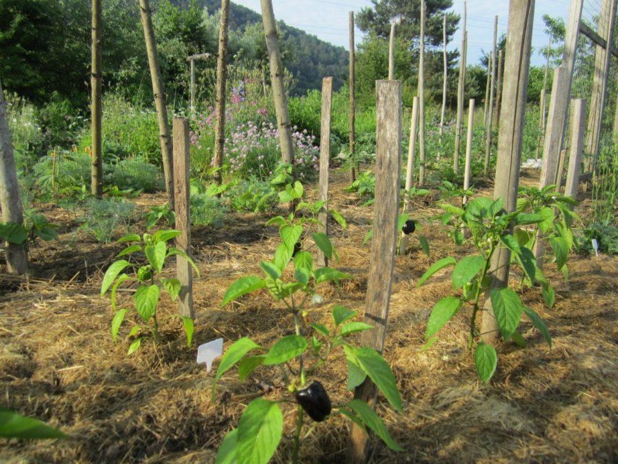 Schwarzer Paprika im Garten