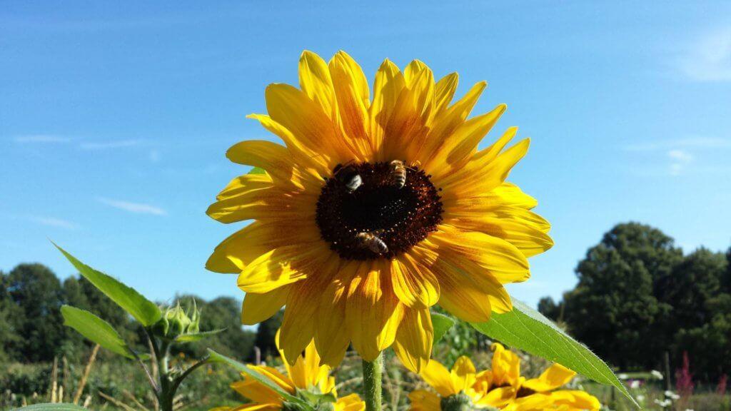 Sonnenblume mit Bienen machen gute Laune.
