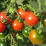 Tomatenanbau 1.Teil – Die Anzucht
