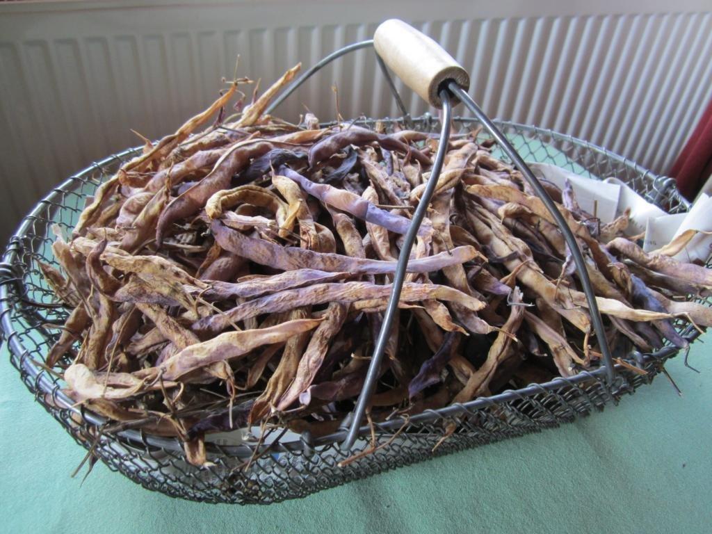 Eigenes Saatgut gewinnen von der Stangenbohne Blauhilde