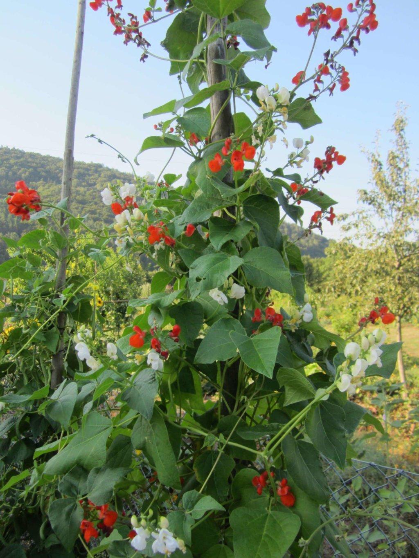 Weiße und rote Feuerbohnen