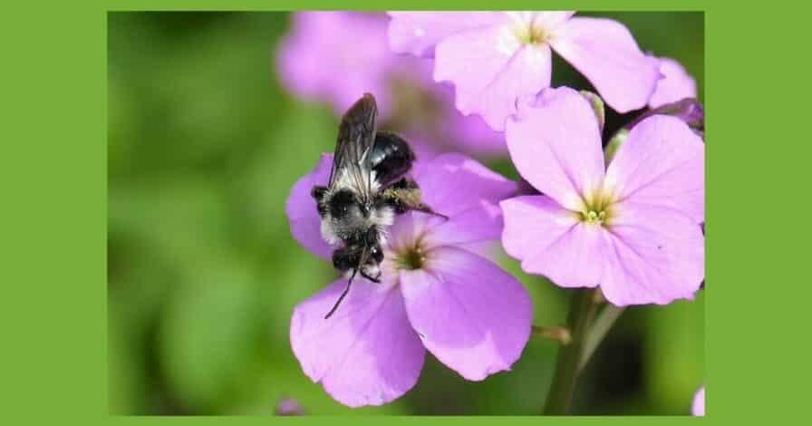 Wildbiene (4)