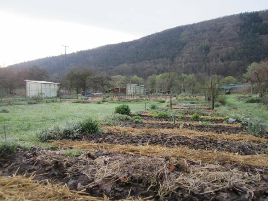 Mulch auf Beeten im Garten