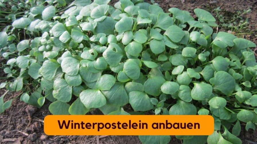 Winterpostelein (6)