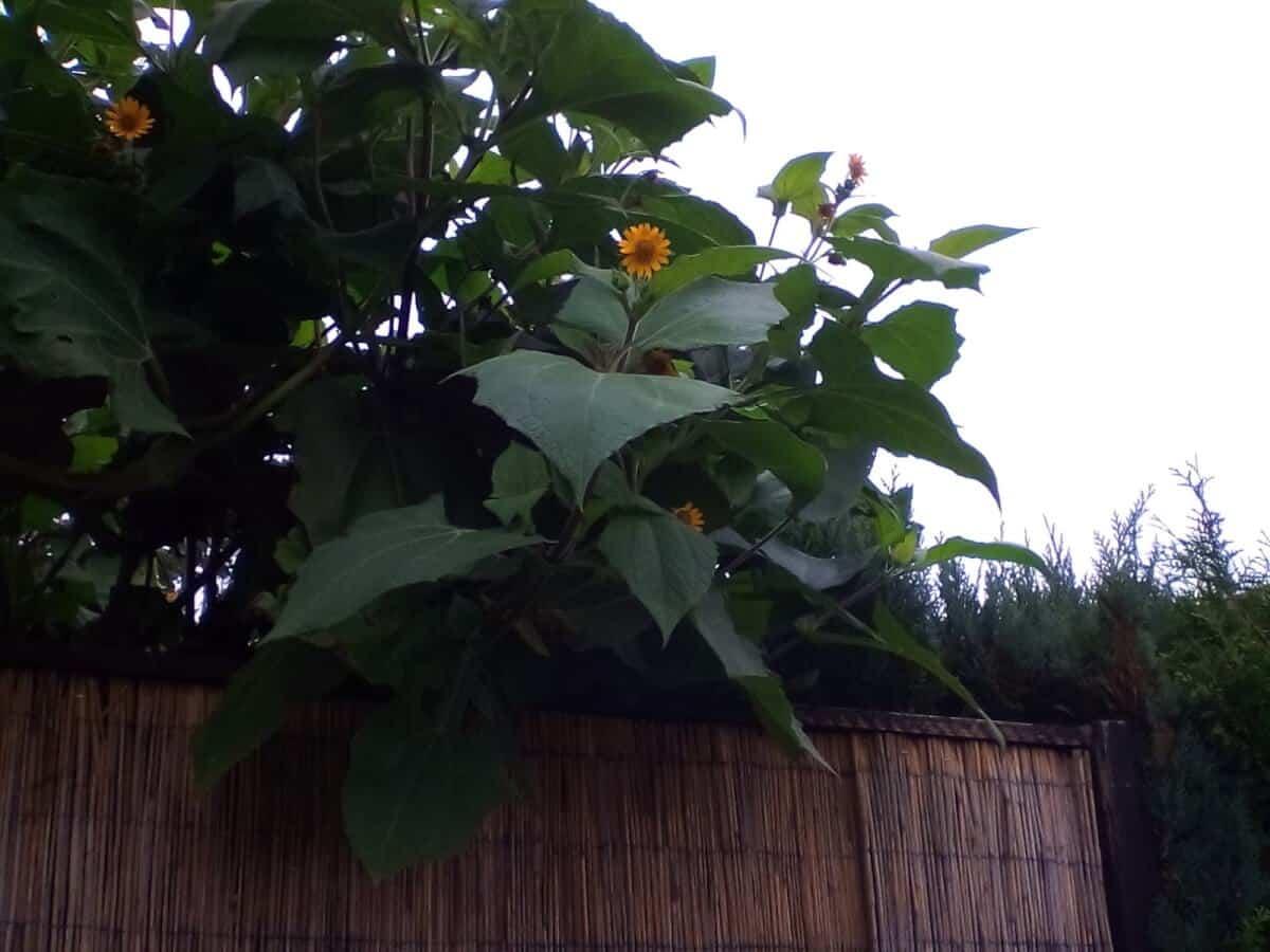 Yacon Knollen anbauen, gesund und frisch