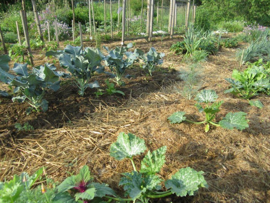 Zucchini und Brokkoli im Garten