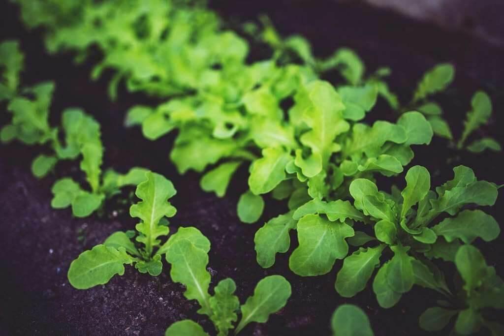 junge Salatpflanzen wachsen heran